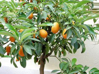 Fresh Seeds Nagami Kumquat Fortunella Margarita Citrus Japonica