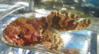 Freshwater Lion Fish for Live Freshwater Aquarium Fish
