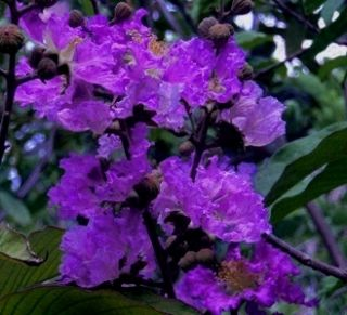 Purple Velvet Crape Myrtle Mini 3 5'