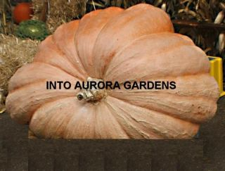 10 Pumpkin Dills Atlantic Giant Huge Pumpkins