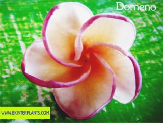 Plumeria with Rooted Domeno Very New DonT Miss