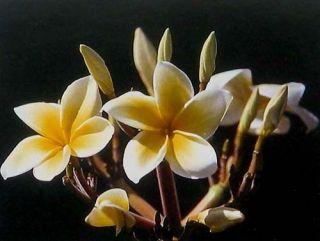 12 Hawaiian Yellow Plumeria Plant cuttings Grow Hawaii
