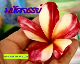 Plumeria with Rooted Miracle New Hybrid Very Beauty