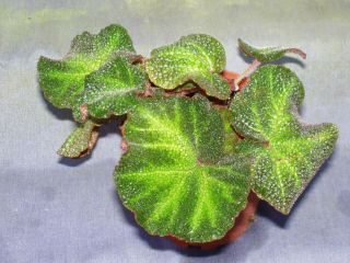 Begonia Soli Mutata The Sun Tan Begonia Rooted Plant Shipped in 4 Pot