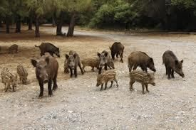 Wild Hog Lure Calling CD Turn on Hunt Live Hog Calls Pig Hunting