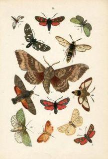 1887 Hoffmann Butterfly Butterflies Antique Chromolithograph Print