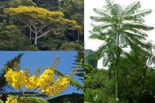 Yellow Jacaranda Schizolobium Parahybum Fresh Seeds
