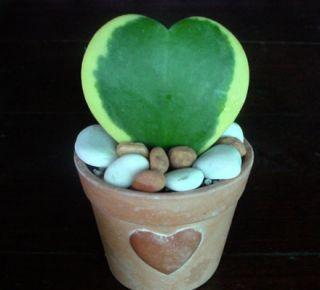 Hoya Kerrii Heart Shaped Hoya best Gift 6 hanging pot indoor/outdoor
