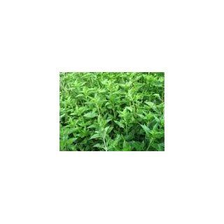 Grass Jelly (Mesona chinensis) 100 fresh seeds for grow
