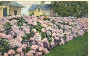 California Los Angeles Hydrangeas Southern Pacific Railroad SPRR 1910