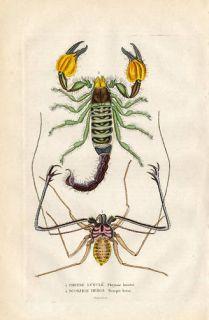 Antique Insects Print Scorpion Phrynus Drapiez 1853