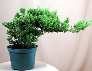 Japanese Juniper Bonsai Starter Tree 4 Pot Juniperus Procumbens Nana