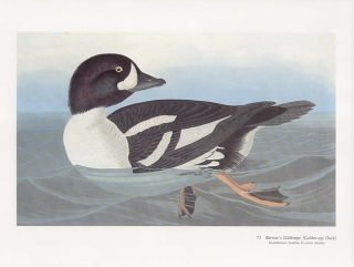 John James Audubon Folio Size Bird Print Barrows GoldenEye