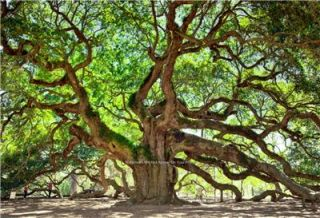 Beautiful Angel Oak Tree Photo St Johns Home Office Wall Art Inexpensive Picture
