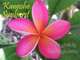 RARE! KANEOHE SUNBURST ROOTED CUTTING PLUMERIA PLANT   18   3 TIPS