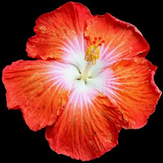 Hibiscus Hybrid Seeds Saffron x Peppermint Drop