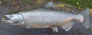 CHINOOK KING SALMON FISH TAXIDERMY SKIN MOUNT 34 X 20 X 17
