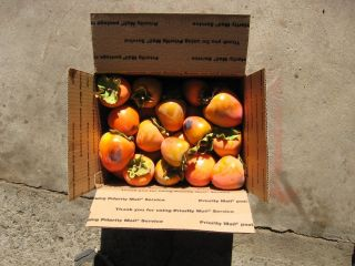 Persimmon Fresh Picking for Baking or Eating Cookies Pudding