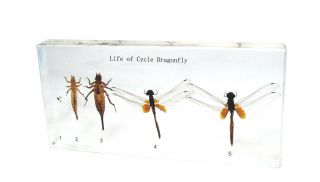Life Cycle of Dragonfly Scarlet Skimmer Crocothemis Servilia