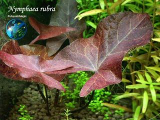 Rubra Pond Live Fish Koi Lotus Plant Free SHIP Inv