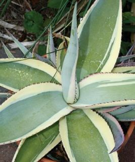 Variegated Agave Creme Brulee Cactus Succulent Plant