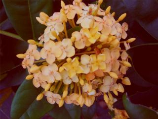 Tropical Ixora Plant Peach Yellow Maui Sunset 4 Pot