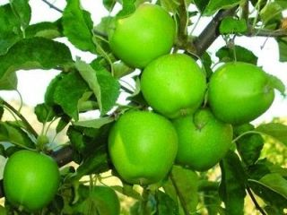Newly listed Granny Smith Apple Tree  5 Seeds  Green & Crisp Apples