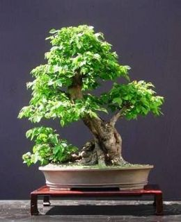 how to grow a bonsai tree from seed in india