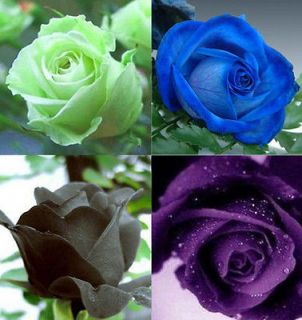 80 ROSE SEED Black Green Purple Blue Flower seeds