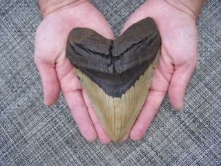 65 Inch!!! Megalodon Fossil Shark Tooth Teeth 1 LB 4.4 oz!!!